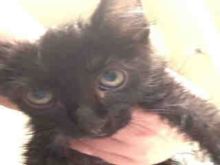 Mix-Bred DOMESTIC SHORTHAIR Young  Kitten #A395685#  - click here to view larger pic