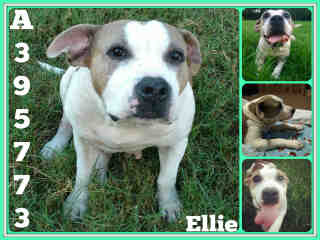 Mix-Bred AMERICAN STAFFORDSHIRE TERRIER Female  Adult  Dog #A395773#  - click here to view larger pic