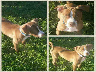 Mix-Bred PIT BULL TERRIER Female  Young  Puppy #A395842#  - click here to view larger pic