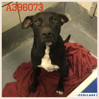 Mix-Bred LABRADOR RETRIEVER Male  Adult  Dog #A396073#  - click here to view larger pic