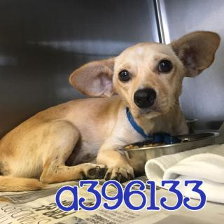 Mix-Bred DACHSHUND Male  Young  Puppy #A396133#  - click here to view larger pic