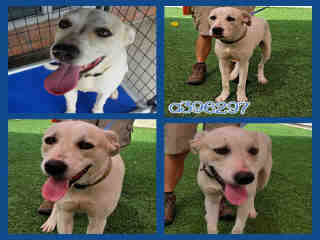 Mix-Bred LABRADOR RETRIEVER Male  Adult  Dog #A396297#  - click here to view larger pic