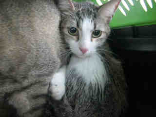 Mix-Bred DOMESTIC SHORTHAIR Female  Adult  Cat #A396418#  - click here to view larger pic