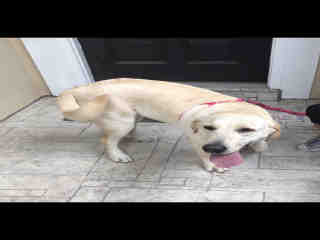 LABRADOR RETRIEVER Female  Young  Puppy #A396790#  Animal Care Services (San Antonio) - click here to view larger pic