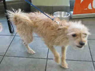 Mix-Bred TERRIER Male  Adult  Dog #A397041#  - click here to view larger pic
