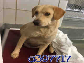 Mix-Bred LABRADOR RETRIEVER Female  Adult  Dog #A397717#  - click here to view larger pic