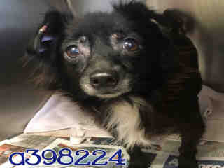 Mix-Bred CHIHUAHUA - LONG HAIRED Female  Young  Puppy #A398224#  - click here to view larger pic