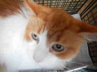 Mix-Bred DOMESTIC MEDIUMHAIR Male  Adult  Cat #A398243#  - click here to view larger pic