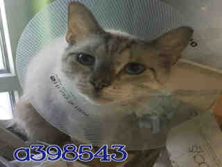 Mix-Bred DOMESTIC SHORTHAIR Female  Adult  Cat #A398543#  - click here to view larger pic