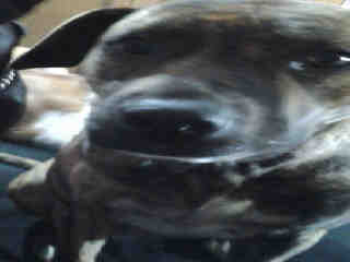 Mix-Bred AMERICAN STAFFORDSHIRE TERRIER Female  Adult  Dog #A398992#  - click here to view larger pic