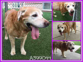 LABRADOR RETRIEVER Female  Adult  Dog #A399044#  - click here to view larger pic