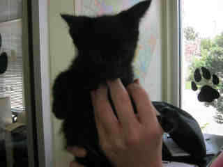 Mix-Bred DOMESTIC SHORTHAIR Female  Young  Kitten #A399307#  - click here to view larger pic