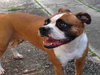 Mix-Bred BOXER Female  Adult  Dog #A399386#  - click here to view larger pic