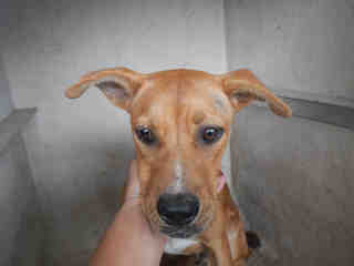 <u> Mix-Bred SHEPHERD Male  Young  Puppy  (Secondary Breed: BLACK MOUTH CUR)</u>