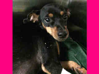 CHIHUAHUA - SMOOTH COATED Female  Adult  Dog #A399515#  - click here to view larger pic