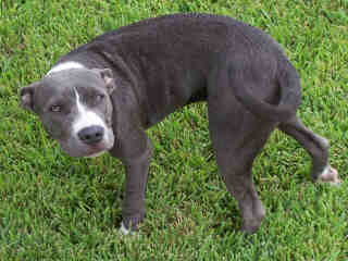 Mix-Bred AMERICAN STAFFORDSHIRE TERRIER Female  Young  Puppy #A399525#  - click here to view larger pic