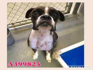 BOXER Female  Adult  Dog #A399825#  - click here to view larger pic