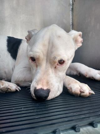 AMERICAN STAFFORDSHIRE TERRIER Female  Adult  Dog #A399857#  - click here to view larger pic
