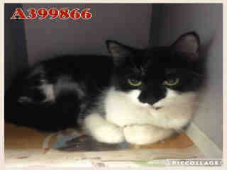 Mix-Bred DOMESTIC SHORTHAIR Female  Adult  Cat #A399866#  - click here to view larger pic