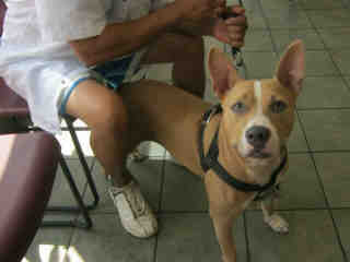 Mix-Bred AMERICAN STAFFORDSHIRE TERRIER Male  Adult  Dog #A399881#  - click here to view larger pic