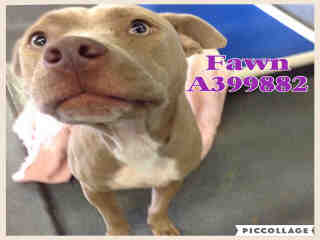 Mix-Bred AMERICAN STAFFORDSHIRE TERRIER Female  Young  Puppy #A399882#  - click here to view larger pic