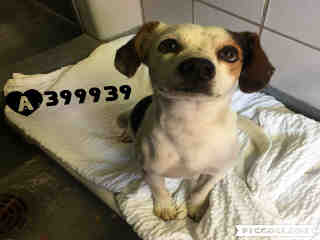 Mix-Bred BEAGLE Male  Adult  Dog #A399939#  - click here to view larger pic