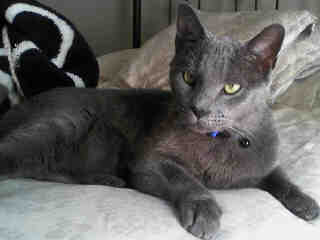 Mix-Bred RUSSIAN BLUE Male  Adult  Cat #A399959#  - click here to view larger pic
