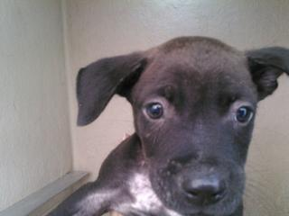 Mix-Bred AMERICAN STAFFORDSHIRE TERRIER Male  Young  Puppy #A400141#  - click here to view larger pic