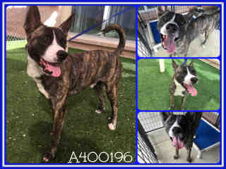 Mix-Bred AKITA Male  Adult  Dog #A400196#  - click here to view larger pic