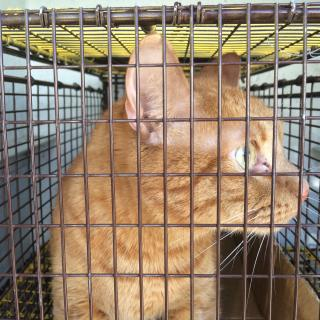 Mix-Bred DOMESTIC SHORTHAIR Male  Adult  Cat #A400235#  - click here to view larger pic