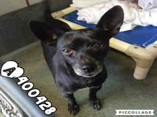 Mix-Bred CHIHUAHUA - SMOOTH COATED Male  Adult  Dog #A400428#  - click here to view larger pic