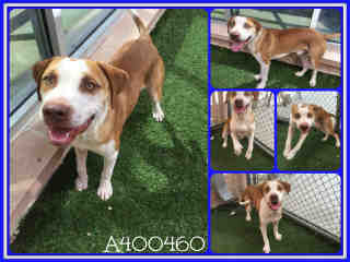 Mix-Bred SHEPHERD Male  Adult  Dog #A400460#  - click here to view larger pic