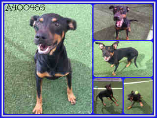 Mix-Bred DOBERMAN PINSCHER Male  Adult  Dog #A400465#  - click here to view larger pic