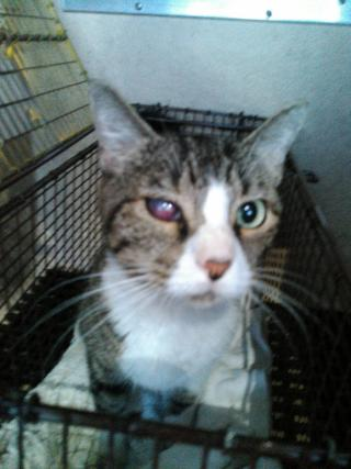 Mix-Bred DOMESTIC SHORTHAIR Female  Adult  Cat #A400517#  - click here to view larger pic