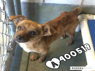 Mix-Bred CHIHUAHUA - SMOOTH COATED Male  Adult  Dog #A400519#  - click here to view larger pic