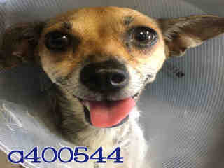 Mix-Bred CHIHUAHUA - SMOOTH COATED Female  Adult  Dog #A400544#  - click here to view larger pic
