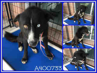 BORDER COLLIE Male  Adult  Dog #A400733#  - click here to view larger pic