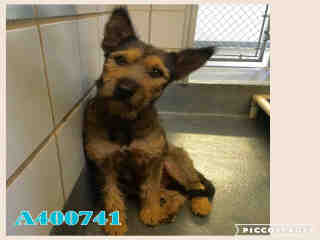 Mix-Bred FOX TERRIER - SMOOTH Female  Adult  Dog #A400741#  - click here to view larger pic