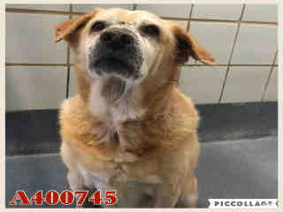 Mix-Bred LABRADOR RETRIEVER Male  Adult  Dog #A400745#  - click here to view larger pic