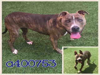 Mix-Bred PIT BULL TERRIER Female  Adult  Dog #A400753#  - click here to view larger pic