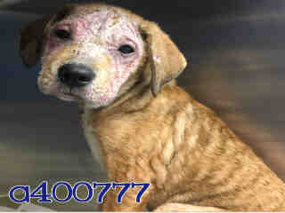 Mix-Bred SHEPHERD Female  Young  Puppy #A400777#  - click here to view larger pic