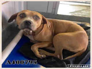 AMERICAN STAFFORDSHIRE TERRIER Female  Adult  Dog #A400795#  - click here to view larger pic