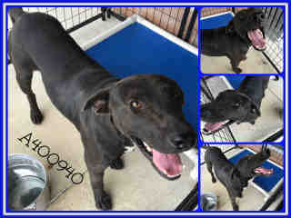 LABRADOR RETRIEVER Male  Adult  Dog #A400940#  - click here to view larger pic