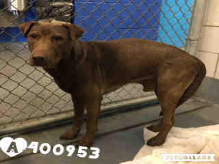 LABRADOR RETRIEVER Male  Adult  Dog #A400953#  - click here to view larger pic