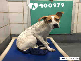 Mix-Bred AUSTRALIAN CATTLE DOG Male  Young  Puppy #A400979#  - click here to view larger pic