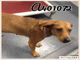 Mix-Bred SHEPHERD Male  Young  Puppy #A401072#  - click here to view larger pic