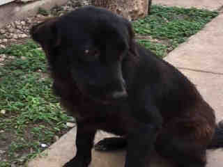 Mix-Bred LABRADOR RETRIEVER Female  Young  Puppy #A401088#  - click here to view larger pic