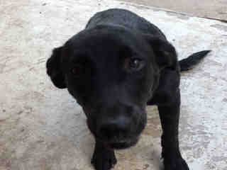 Mix-Bred LABRADOR RETRIEVER Female  Young  Puppy #A401089#  - click here to view larger pic