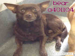 CHIHUAHUA - SMOOTH COATED Male  Adult  Dog #A401104#  - click here to view larger pic