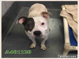 Mix-Bred AMERICAN STAFFORDSHIRE TERRIER Female  Adult  Dog #A401120#  - click here to view larger pic